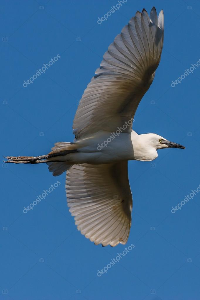 Cattle Egret in flight on blue sky background — Lizenzfreies Foto #13304171