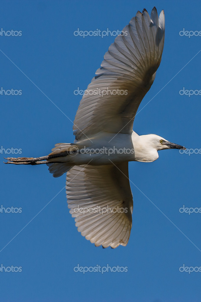 Cattle Egret in flight on blue sky background — Стоковая фотография #13304171