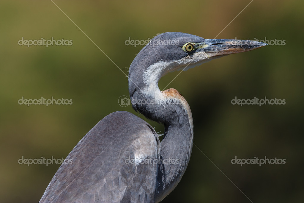 Black-headed Heron portrait taken at Crockworld Kwazulu Natal  Foto Stock #13304262