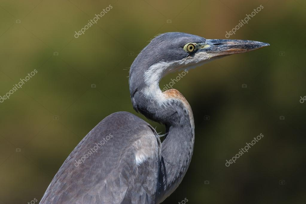 Black-headed Heron portrait taken at Crockworld Kwazulu Natal  Stockfoto #13304262