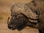 Oxpecker and Buffalo — Photo