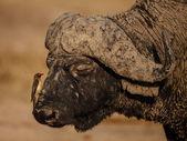 Oxpecker and Buffalo — Stock Photo