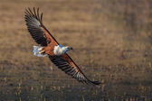 Fish Eagle flyby — Photo
