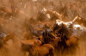 Horses running in the dust — Stock Photo