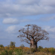 Large Baobab — Stock Photo