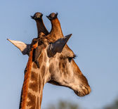 Giraffe portrait — Stock Photo