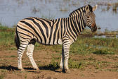 Burchells Zebra standing — Stock Photo