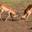 Impala rams fighting — Stock Photo #36022615