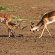 Impala rams fighting — Stock Photo