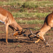 Impala rams fighting — Stock Photo #36022913