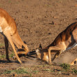 Impala rams fighting — Stock Photo #36027093