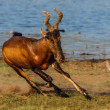 Stock Photo: Tsessebe running