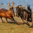 Tsessebe chasing Wildebeast — Stock Photo