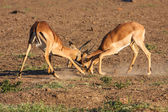 Impala rams fighting — Stock Photo