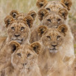 Stock Photo: AfricLion
