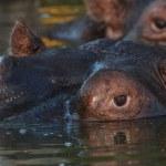 Hippo watch — Stock Photo