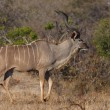 Kudu bull — Stock Photo