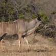 Stock Photo: Kudu bull