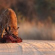 Spotted Hyena in road — Stock Photo