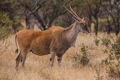 Mucca eland — Foto Stock