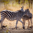 Zebra and foul — Stock Photo