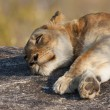 Stock Photo: Lazy Lion