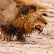 Stock Photo: Male Lion