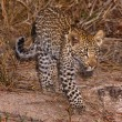 Stock Photo: Leppard cub