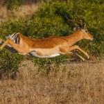 Impala Jump — Stock Photo #36229437