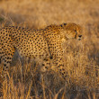 Male Cheetah — Stock Photo