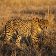 Stock Photo: Male Cheetah