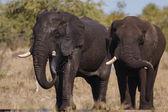 Elefanti — Foto Stock