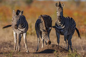 Zebra Trio — Stock Photo