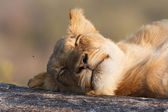 Lazy Lion — Stock Photo