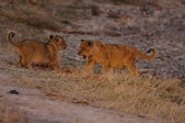 Lion cubs — Stock Photo