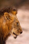 Leone maschio — Foto Stock