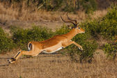 Impala Jump — Stock Photo
