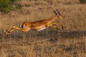 Impala Jump — Photo