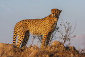 Male Cheetah — Photo