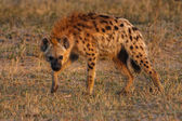 Spotted Hyena — Photo