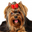 Yorkshire Terrier — Stock Photo #12894975