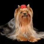 Beautiful Yorkshire Terrier — Stock Photo #12895038