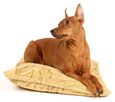 Red Miniature Pinscher lying on the pillow — Stock Photo