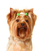 Portrait of the young Yorkshire Terrier — Stock Photo