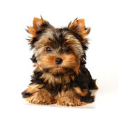 Puppy of the yorkshire terrier — Stock Photo