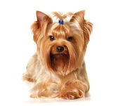 Yorkshire Terrier with hairpin — Stock Photo