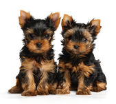Two puppies of the Yorkshire Terrier — Stock Photo