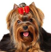 Yorkshire Terrier — Stock Photo