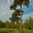 Stock Photo: Pine-tree