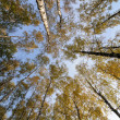 Looking up to the sky in the birch wood — Stock Photo